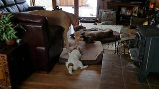 Defiant puppy takes on 2 Great Danes in tug-of-war - Video