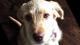 Puppy Pulls Perfect Guilty Eyes To Redeem For Chewing The Chair