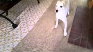 Dog Freaks Out as Owner Uses Hoverboard to Vacuum - Video