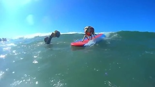 Surfing dogs hang ten - Video