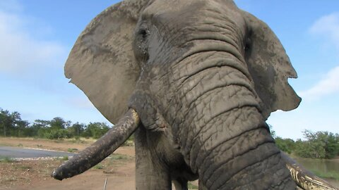 Big bull elephant scratches his trunk against safari vehicle during scary close encounter