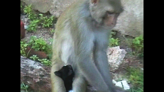 Monkey Raises Kitten - Video