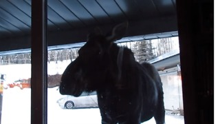 Curious Moose Peeks Into House Near Bragg Creek, Alberta - Video