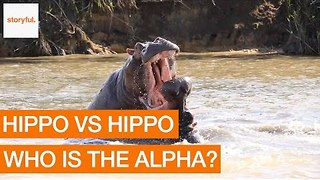 Aggressive Hippos Battle to Prove Dominance - Video