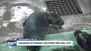 Baby seal pup makes debut at The Aquarium of Niagara - Video