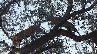 Mother Leopard Attacks Daughter: SNAPPED IN THE WILD - Video