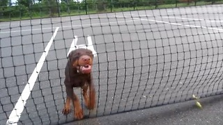 Adorable Puppy Attacks Tennis Net to get to mom  - Video