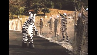 Fake Zebra Escapes From Zoo - Video