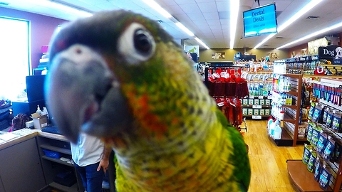 Curious baby parrot loves being on camera