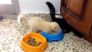 Baby Skunks Learn to Eat and Drink On Their Own - Video