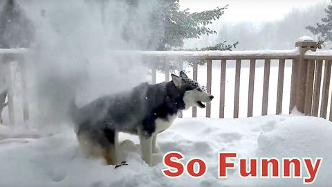 Husky loves to get snow dumped on him