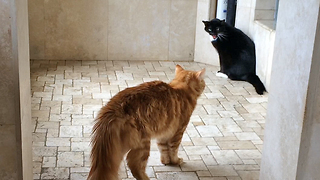 Cat Showdown in the Shower