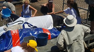 Beached False Killer Whale Rescued for Second Day in Row - Video