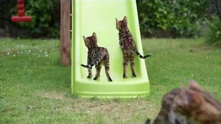 Backyard Fun with Bengal Kittens - Video