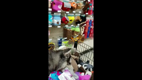 Husky plays in shopping cart full of toys