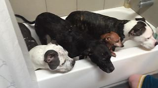 Four dogs enjoy relaxing bath time with owners - Video