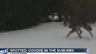 Coyote spotted in Lancaster - Video