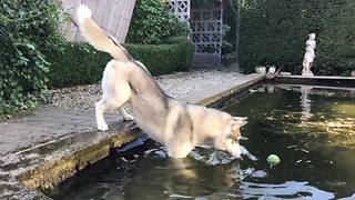 Determined husky fetched ball from pool - Video