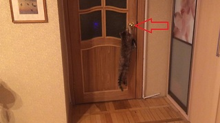 Smart elderly cat flawlessly opens door - Video