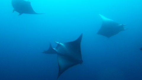 Scuba divers in complete awe after meeting school of manta rays