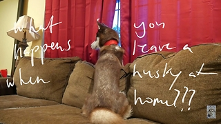What happens when you leave a husky at home? - Video