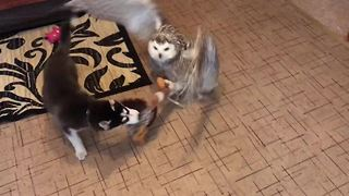 Husky and owl play tug-of-war with new toy - Video