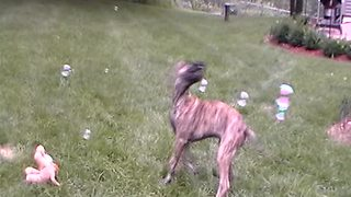 Great Dane puppy can't stop popping bubbles - Video