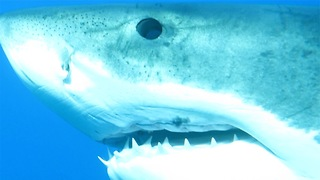 Curious Shark Comes To Sniff Out Diver Very Closely