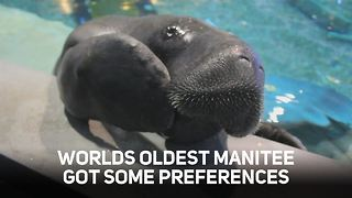 What you need to know about the world's oldest manatee
