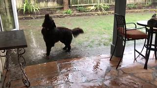 Samson the Newfoundland dog loving a California downpour! - Video