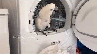 Pet Cockatoo Determined to Help With Laundry - Video