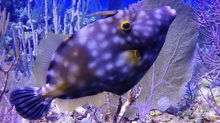 Strange fish dramatically changes color and spots - Video