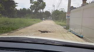 Laid-back monitor lizard halts traffic to cross road