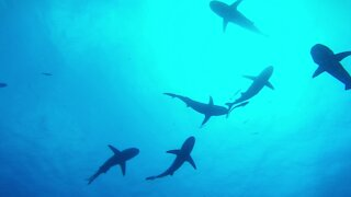 Coronavirus Vaccine Could Result In Shark Deaths