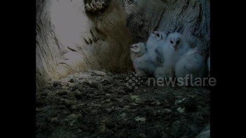 Barn owl chicks dealing with a heatwave