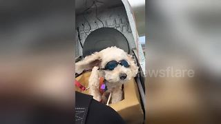 Adorable puppy goes for a helicopter ride with owner