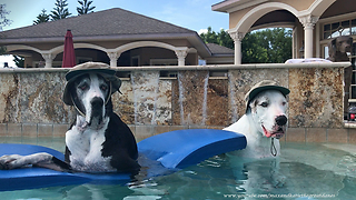 Happy Great Danes model their fishing hats - Video