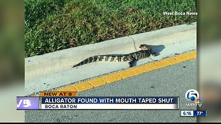 Alligator found with mouth taped shut in Boca Raton