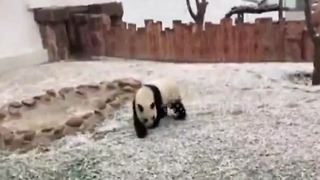 Pandas get excited playing in the snow - Video