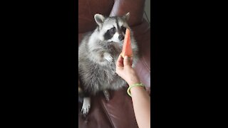 Raccoon grabs watermelon slice with his hands, eats it like a human