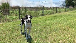 Great Dane Watches A Controlled Fire Burn In Florida