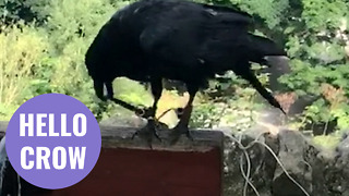 Unusual video captures moment a crow greets a walker - Video