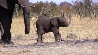 Baby Elephant With A Missing Trunk Is Spotted In The Wild