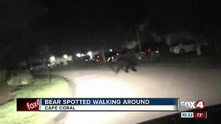 Bear spotted walking around Cape Coral - Video