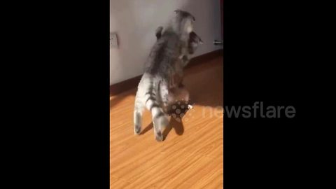 Cat choke slams another cat during fight