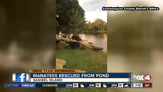 Manatees rescued from pond in Sanibel Island - Video
