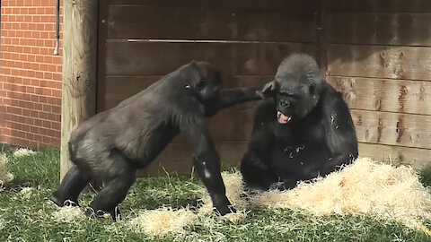 Disrespectful gorilla youngster repeatedly slaps his own grandmother