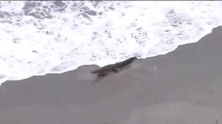 Crocodile interrupts beach day in South Florida - Video