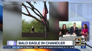Bald eagle spotted in Chandler neighborhood - Video
