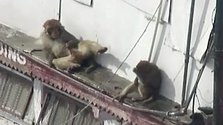 Monkey caught playing with itself in public in hilarious clip - Video
